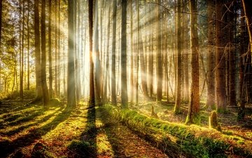 trees, forest, moss, sunlight