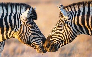 зебра, африка, зебры