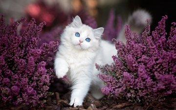 цветы, природа, листья, кот, кусты, кошка, животное, рэгдолл, monika koc