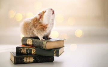фон, книги, грызун, морская свинка