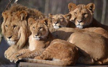 family, leo, lioness, zoo, cubs, big cat, safari