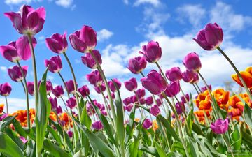 tulips on a background of clouds.