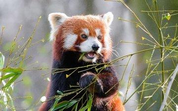 листья, мордочка, ветки, взгляд, панда, бамбук, животное, красная панда, малая панда