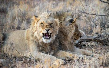 клыки, большая кошка, лев, злой