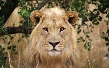 морда, портрет, взгляд, хищник, большая кошка, лев