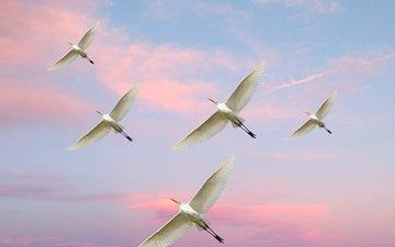 небо, полет, птицы, белая цапля