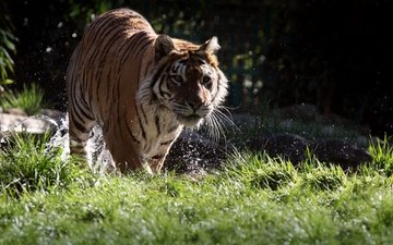 тигр, морда, трава, вода, усы, взгляд, хищник, животное