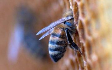 макро, насекомое, соты, пчела, мед