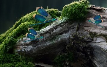 крылья, насекомые, камень, стрекоза, мох, пень, стрекозы