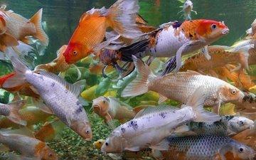 разноцветные, рыбы, под водой, много, японии, карпы кои, by brandonlord