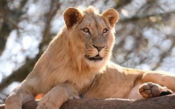 камень, большая кошка, лев, царь зверей