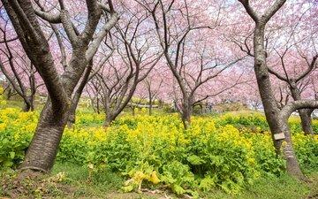 цветы, цветение, парк, весна, сакура