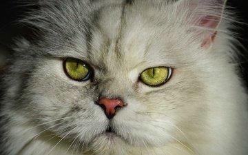 portrait, cat, fluffy, british