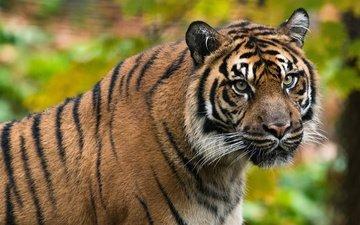 tiger, face, portrait