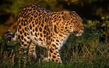 трава, леопард, дикая кошка