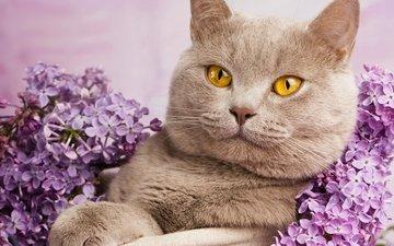 портрет, кот, кошка, сирень, британская короткошерстная, british cat in flowers