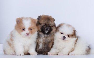 новый год, щенки, собаки, шпиц, шпицы