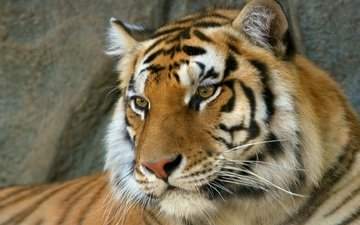 тигр, морда, взгляд, хищник, бенгальский тигр
