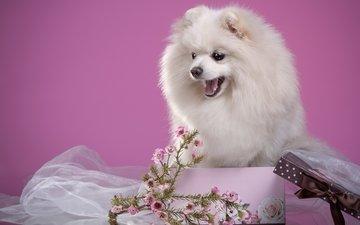 цветы, пушистый, белый, щенок, коробка, шпиц, мими