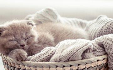 кот, котенок, спит, малыш, корзинка, шотландская вислоухая кошка