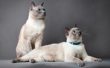 фон, кот, парочка, кошки, тайский кот, тайская кошка