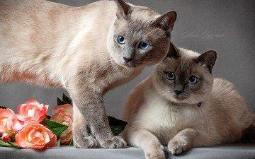 цветы, кот, коты, пара, кошки, тайский кот, тайская кошка