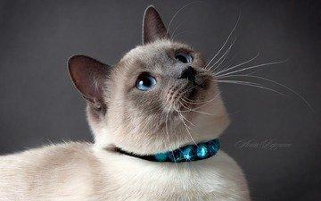 глаза, кот, кошка, серый фон, тайский кот, тайская кошка