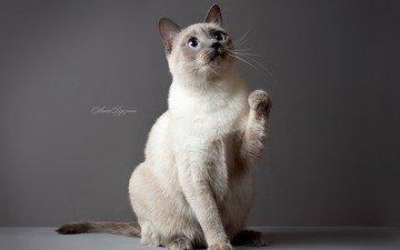 глаза, обои, кот, кошка, серый фон, тайский кот, тайская кошка