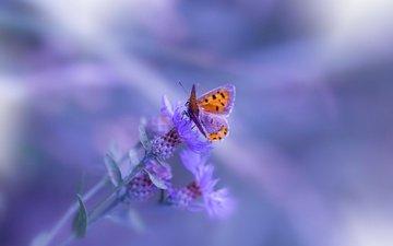 макро, насекомое, цветок, бабочка, размытость, marilena fattore