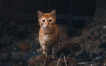 кот, взгляд, животное, рыжий, питомец. cat