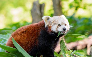 мордочка, взгляд, панда, язык, красная панда, малая панда
