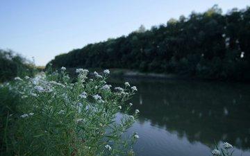 цветы, река, природа, ромашки