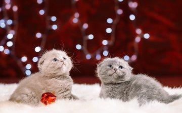 кот, взгляд, малыши, котята, мех, шотландская вислоухая кошка