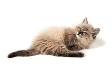 кот, мордочка, кошка, взгляд, котенок, белый фон, малыш, лапки