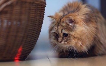 кот, кошка, корзина, benjamin torode, дейзи