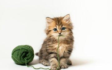 кот, кошка, котенок, игра, белый фон, клубок, benjamin torode, дейзи, зеленые нитки