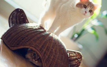 солнце, кот, игра, корзина, кошки, прячется, дейзи, бенджамин тород, бен тород, ханна