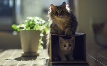 кот, кошки, котята, коробка, играют, benjamin torode, ben torode, дейзи, ханна