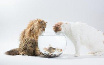 кот, рыбы, кошки, аквариум, интерес, дейзи, бенджамин тород, бен тород, ханна