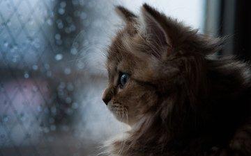 кошка, котенок, дождь, окно, ben torode, дейзи, бен тород
