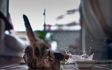 животные, кот, брызги, пол, миска, игривый