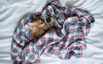 кот, кошка, котенок, пушистый, кровать, рубашка, ben torode, дейзи