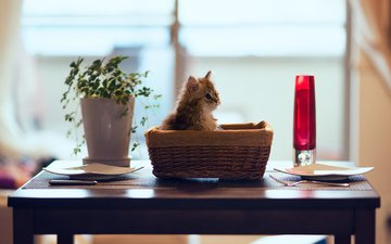 цветок, кот, кошка, котенок, стол, корзина, тарелки, ben torode, дейзи