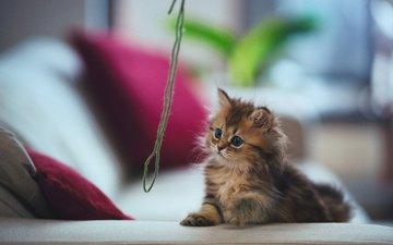 кот, кошка, котенок, игра, дейзи, нитка, бенджамин тород