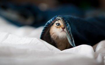 морда, котенок, прятки, котик, штаны