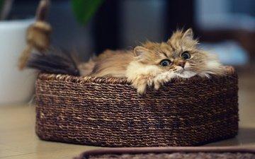 глаза, кот, кошка, взгляд, корзинка
