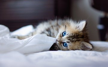 животные, котенок, пушистый, одеяло, голубоглазый, игривый