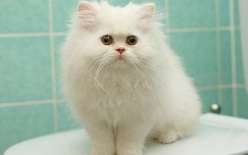 котенок, пушистый, белый, перс, персидская кошка