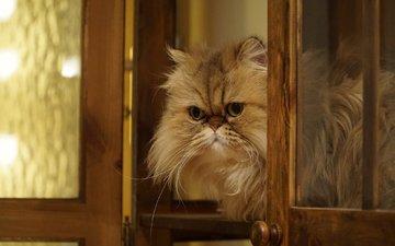 кошка, взгляд, пушистая, персидская кошка