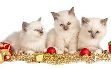 новый год, взгляд, игрушки, белые, малыши, котята, гирлянда